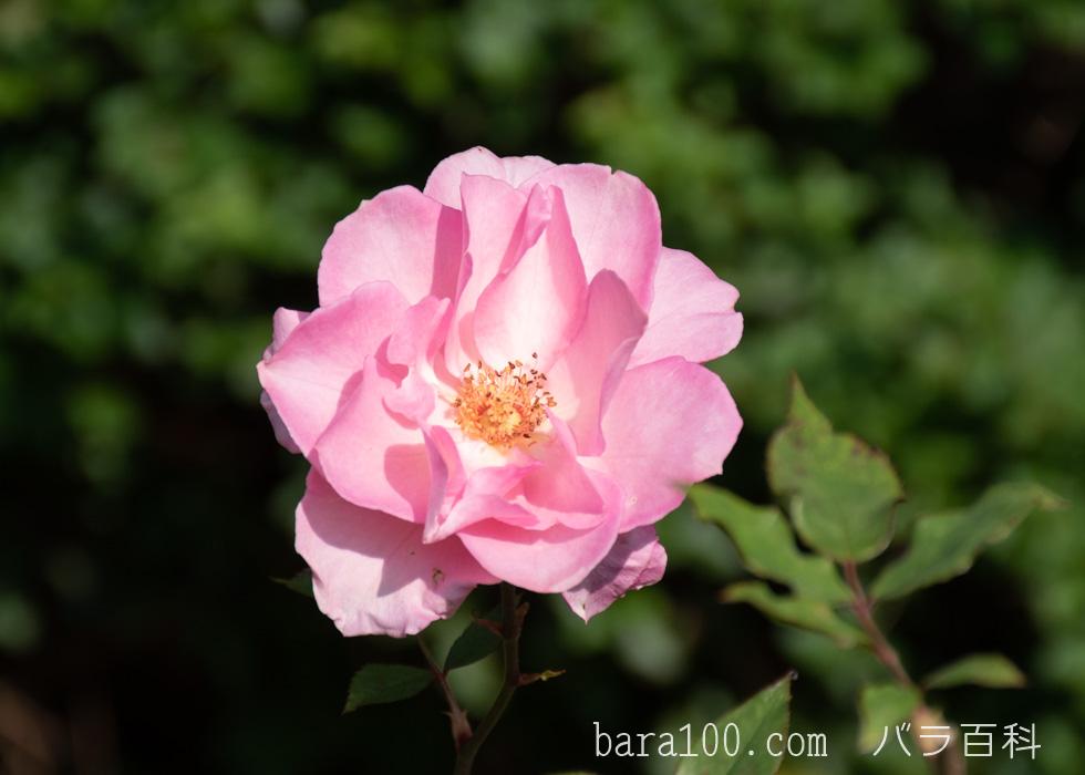 桜貝(サクラガイ):長居植物園バラ園で撮影したバラの花