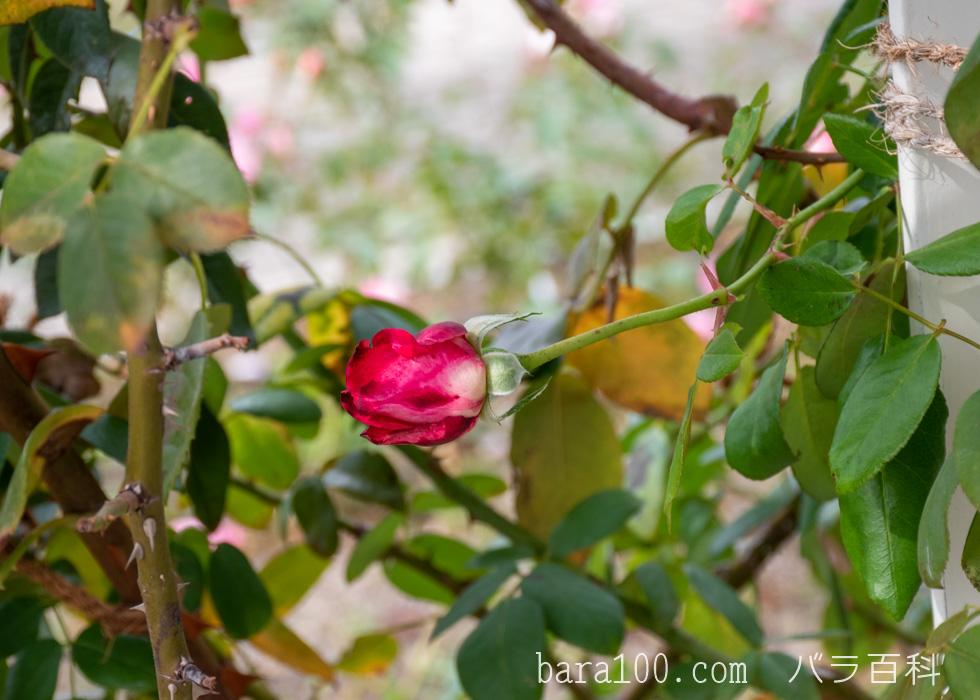 つる聖火(ツルセイカ):長居植物園バラ園で撮影したバラのつぼみ