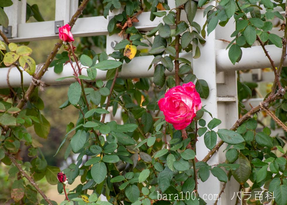 つる聖火(ツルセイカ):長居植物園バラ園で撮影したバラの花