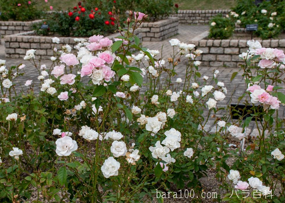 セレッソ:長居植物園バラ園で撮影したバラの木