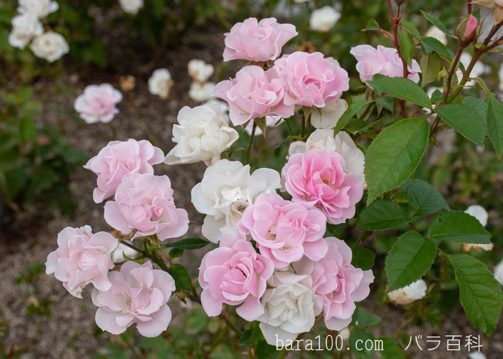セレッソ:長居植物園バラ園で撮影したバラの花