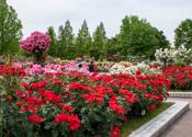 庄堺公園バラ園(滋賀県彦根市)
