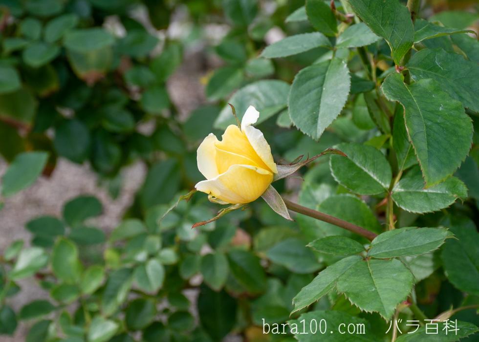 トゥールーズ・ロートレック:長居植物園バラ園で撮影したバラのつぼみ