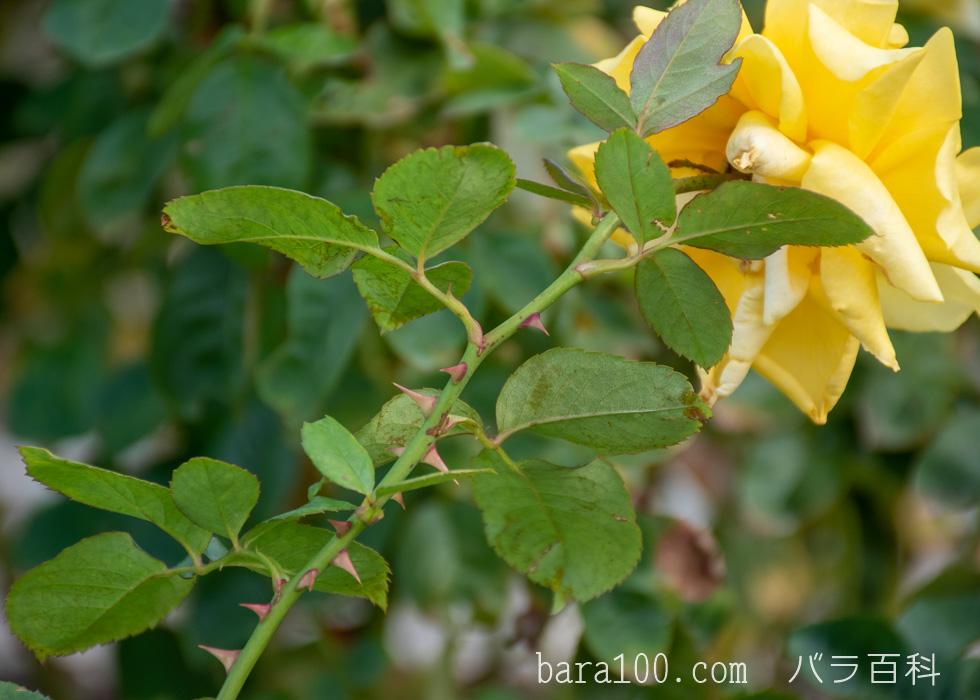 トゥールーズ・ロートレック:長居植物園バラ園で撮影したバラの葉と枝とトゲ