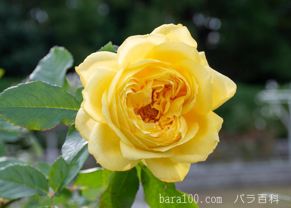 トゥールーズ・ロートレック:長居植物園バラ園で撮影したバラの花