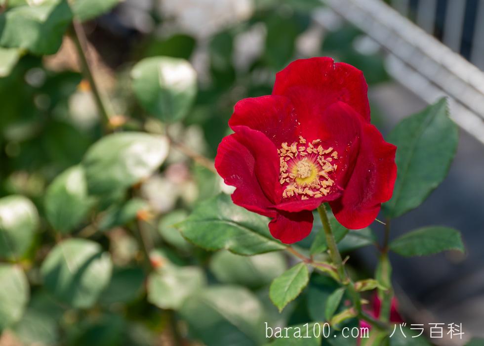 ベスビアス / ヴェスヴィアス:花博記念公園鶴見緑地バラ園で撮影したバラの花