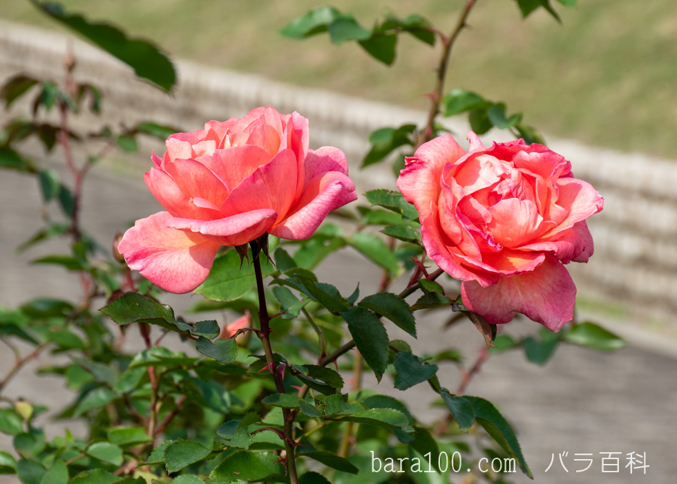 ザンブラ:長居植物園バラ園で撮影したバラの花