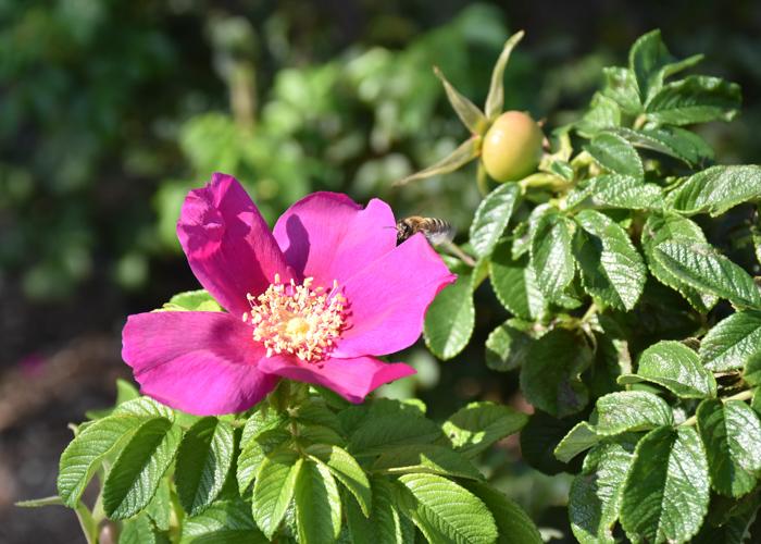 バラの原種ハマナスの花。荒巻バラ公園で撮影